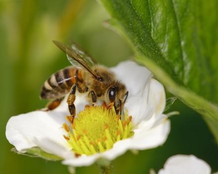Honey-Bee_000009538198Large